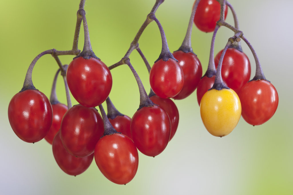 Stock Photo: 1482R-3090 Close-up of Bittersweet nightshade (Solanum dulcamara) red berries