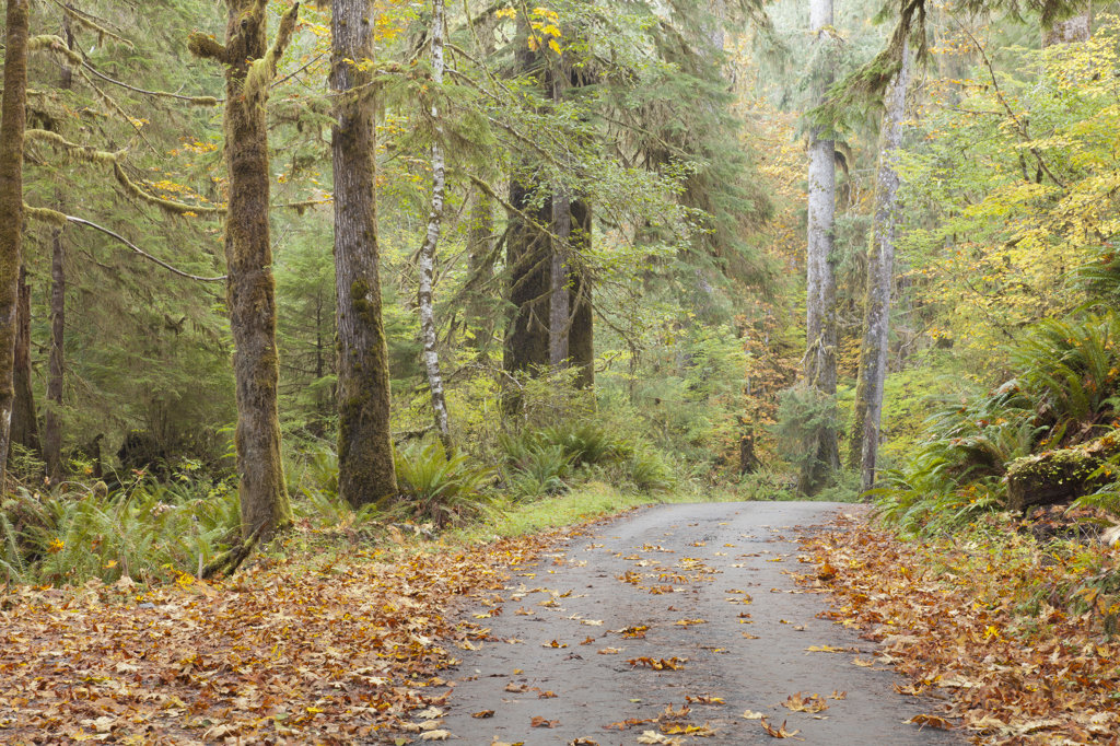 Stock Photo: 1482R-3109 Road passing through a forest in autumn, Quinault River Road, Olympic National Park, Washington State, USA