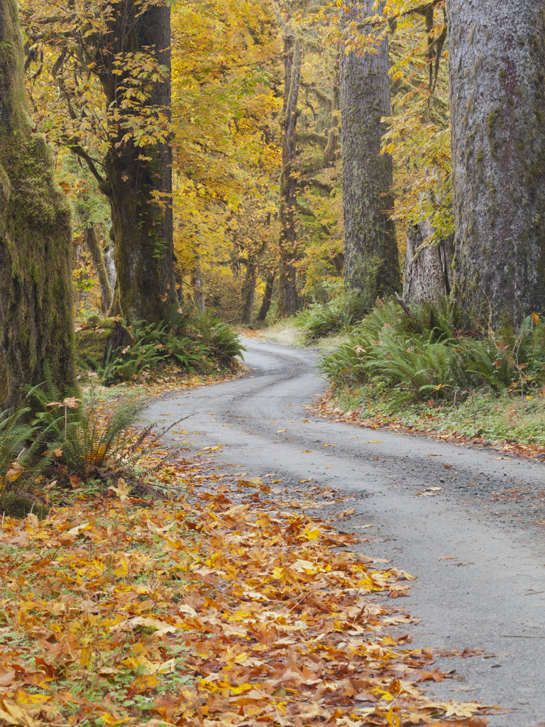 Road passing through a forest in autumn, Quinault River Road, Quinault, Olympic National Park, Washington State, USA : Stock Photo