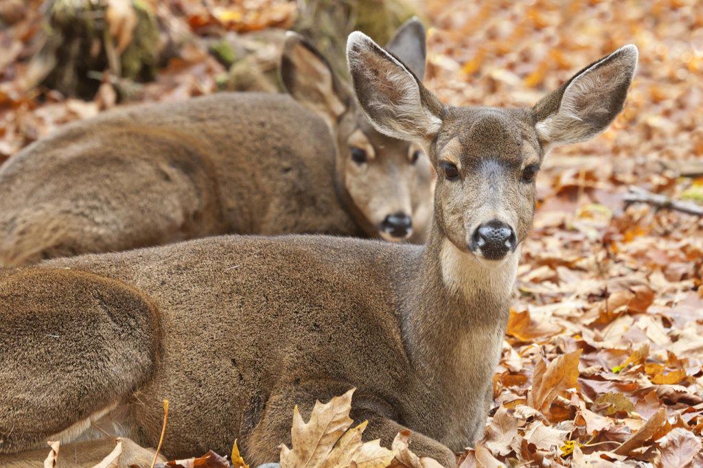 Two Black-Tailed deer (Odocoileus hemionus) resting, Olympic National Park, Washington State, USA : Stock Photo