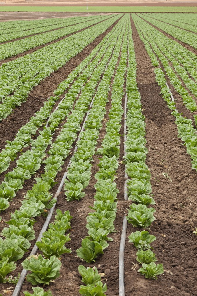 USA, California, Soledad, Lettuce crop : Stock Photo