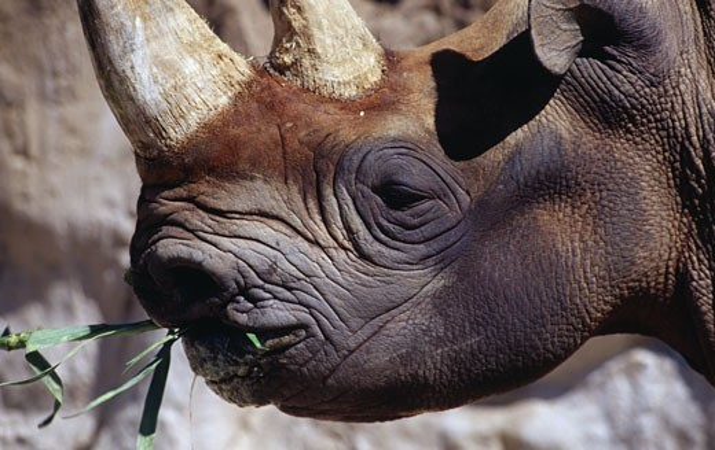 Stock Photo: 1486-1221 Black Rhinoceros San Diego Zoo San Diego California, USA