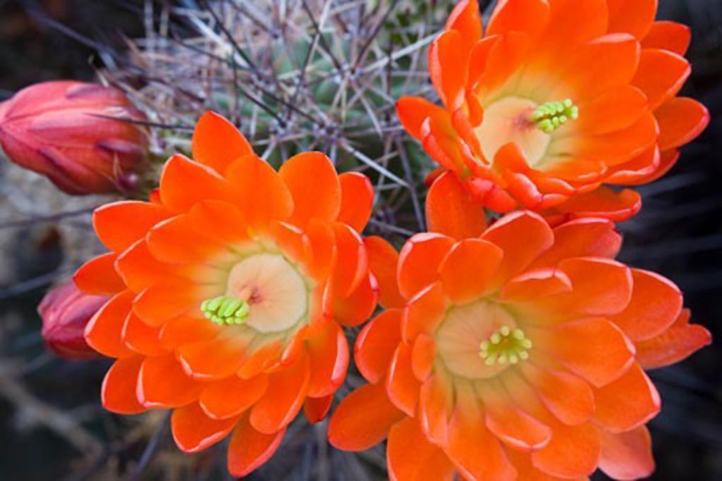 Claret Cup Cactus, Desert Botanical Garden, Phoenix, Arizona, USA : Stock Photo