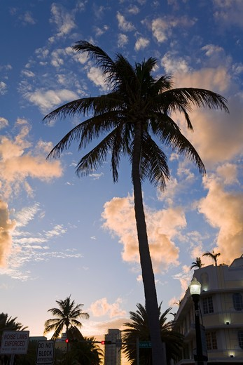 Stock Photo: 1486-15580 Palm trees on South Beach, Miami Beach, Florida, USA