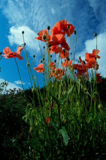 Stock Photo: 1486-2263 Low angle view of poppies in a field