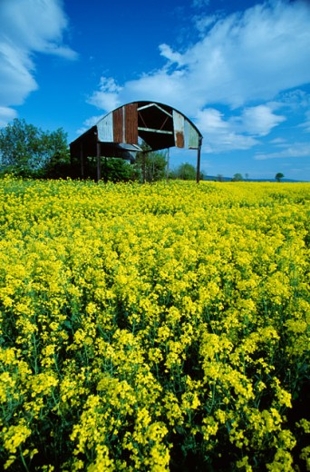Stock Photo: 1486-2368 Crops growing in a field, Rapeseed Field, Rathcoole, Ireland