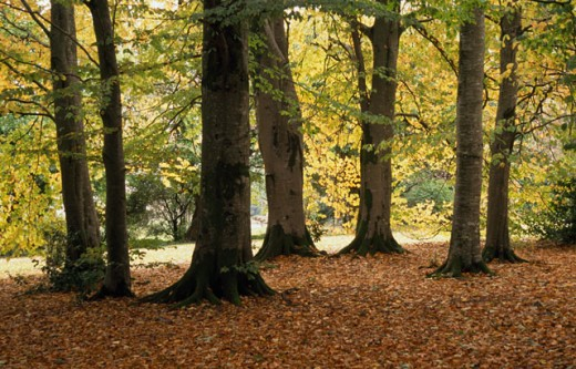 Stock Photo: 1486-2371 Trees in a forest, Ireland