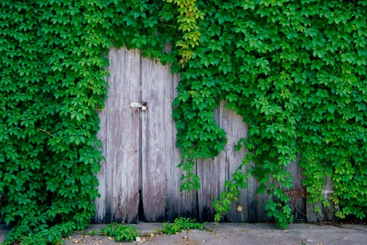 Stock Photo: 1486-4589 Ivy growing on an abandoned wooden structure, Texas, USA