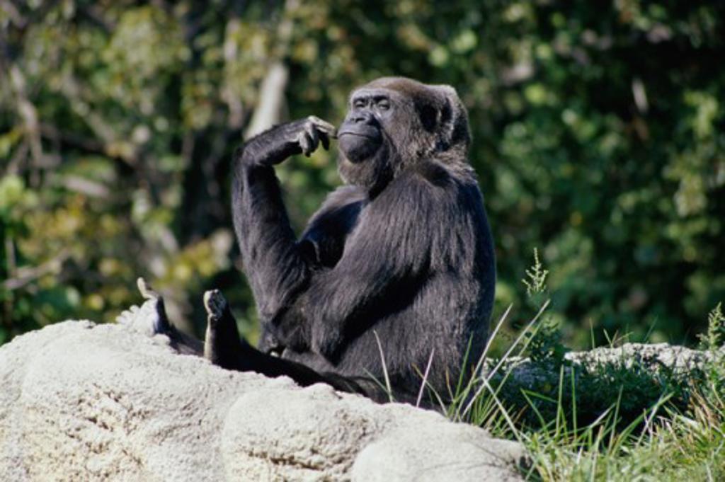 Stock Photo: 1486-534 Gorilla sitting on a rock in a zoo, Detroit Zoo, Detroit, Michigan, USA