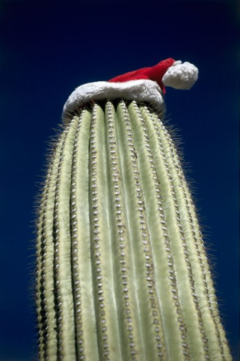 Low angle view of a Santa hat on the top of a Saguaro Cactus : Stock Photo