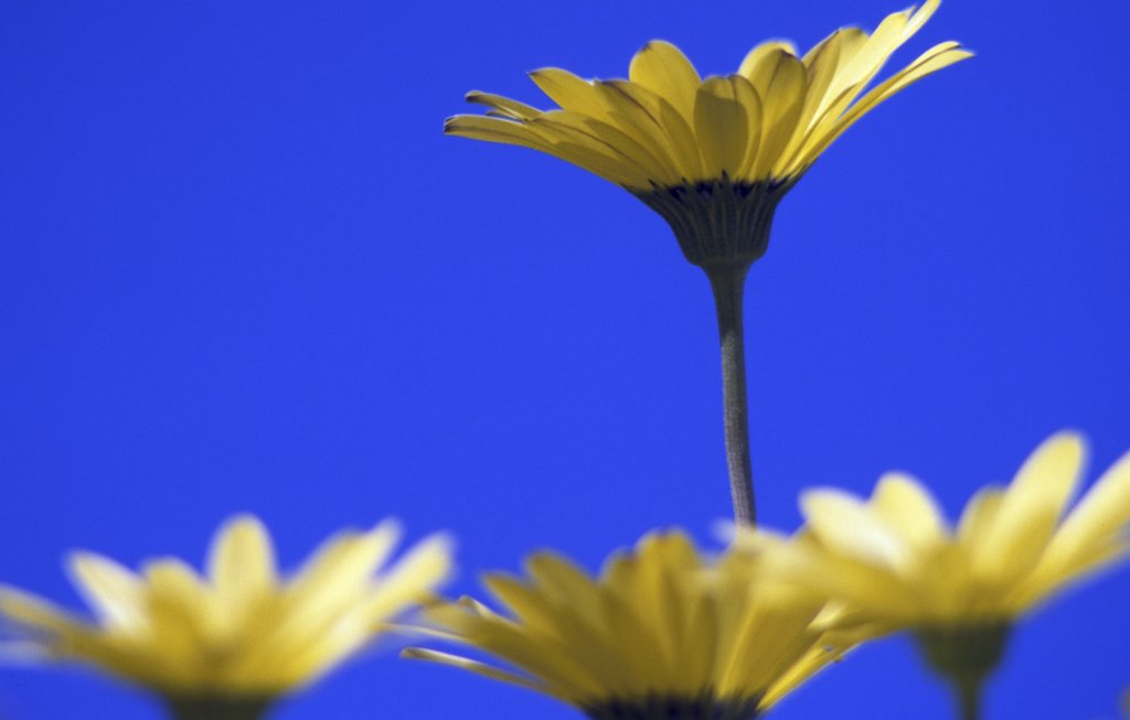 Close-up of African daisies blooming : Stock Photo
