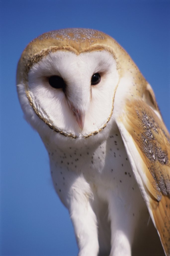 Stock Photo: 1486-9151 Barn Owl