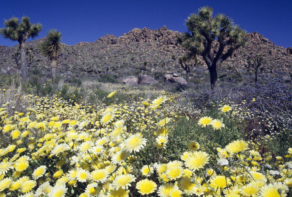 Stock Photo: 1486-9335 USA, California, Joshua Tree National Park scenic view