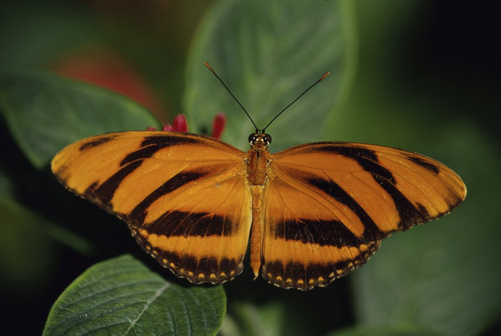 Stock Photo: 1486-9673 Close-up of a Banded Orange Heliconian Butterfly on leaves (Dryadula phaetusa)