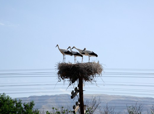 Stock Photo: 1488-108 Storks nesting on a telegraph pole, Yerevan, Armenia