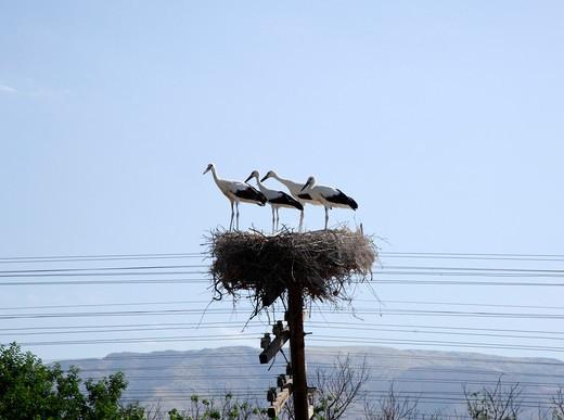 Storks nesting on a telegraph pole, Yerevan, Armenia : Stock Photo