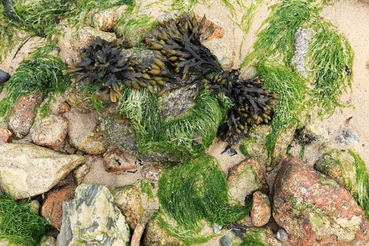 Stock Photo: 1488-368 Close-up of seaweeds on the coast, Isles of Scilly, Cornwall, England