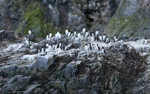 Norway, Bear Island, Nesting stacks of Common Guillemots : Stock Photo