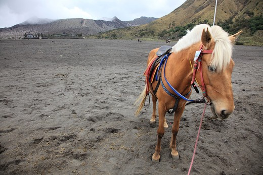 Stock Photo: 1488-737 Horse to take tourists to the volcanic mountain Mt Bromo, Probolinggo, Java, Indonesia