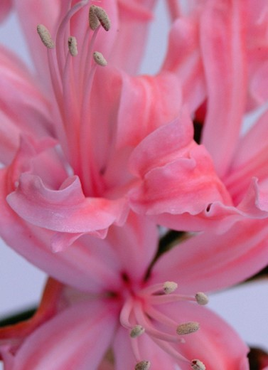 Stock Photo: 1489-102 Stargazer Lily