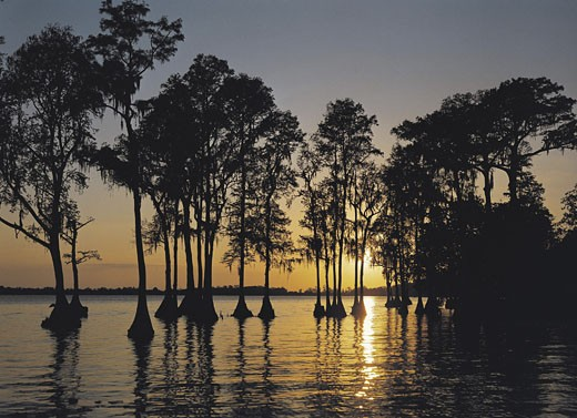 Stock Photo: 1491R-1014388 Cypress trees in Cypress Gardens at sunset, Florida, USA