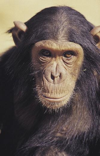 Stock Photo: 1491R-1014437 Chimpanzee (Pan Troglodytes), Johannesburg Zoo, South Africa