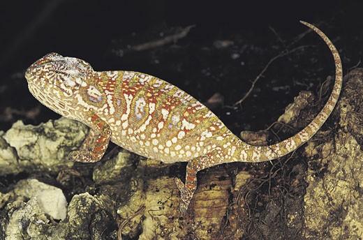Stock Photo: 1491R-1014440 Chameleon - Female (Chamaele lateralis), Madagascar