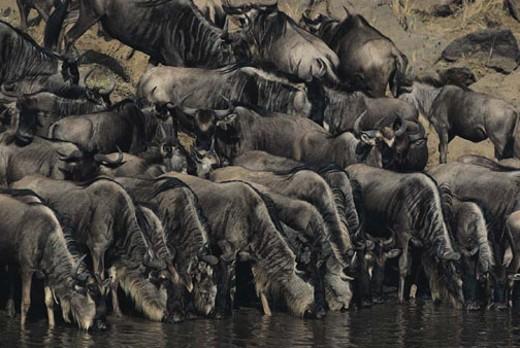 Stock Photo: 1491R-1014464 Blue wildebeest herd drinking at water's edge, Masai Mara, Kenya