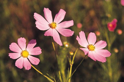 Cosmos close-up, South Africa : Stock Photo