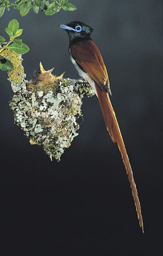 Stock Photo: 1491R-1014555 Mother and baby Paradise Flycatcher in nest