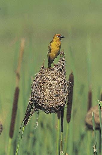 Stock Photo: 1491R-1014565 Cape Weaver male at nest (Placeus capensis)