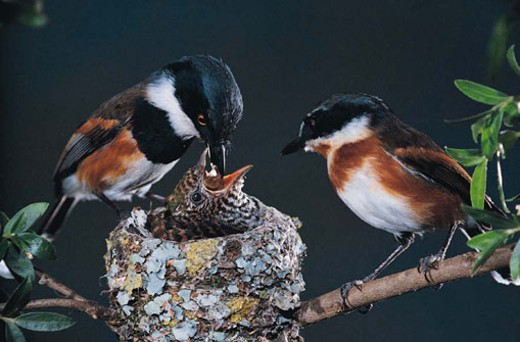 Cape Batis male and female feeding Klaass Cuckoo chick, Southern Africa : Stock Photo