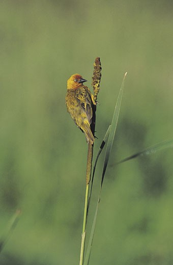Stock Photo: 1491R-1014593 Weaver on reed (Ploceus capensis), Natal, South Africa