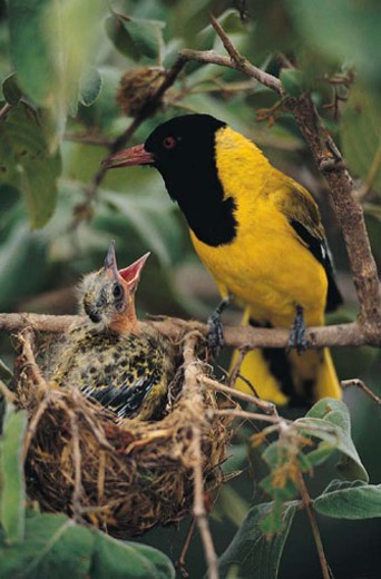 Black-headed Oriole at nest with chick (Oriolus larvatus) : Stock Photo