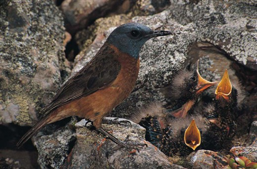 Cape Rock Thrush with babies in the nest : Stock Photo