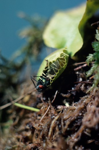 Stock Photo: 1491R-1020054 Venus fly trap catching green bottle fly