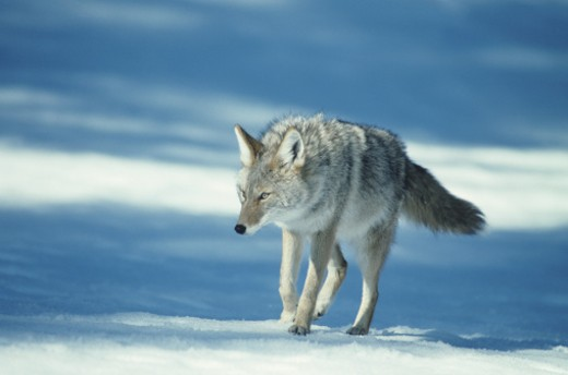 Coyote walking on snow, USA : Stock Photo