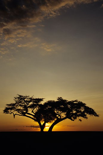 Fig tree silhouetted at African dawn, Kenya, Africa : Stock Photo