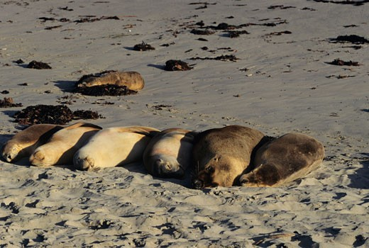 Australian sea lions (Neophoca cinerea) sleeping on beach, Australia : Stock Photo