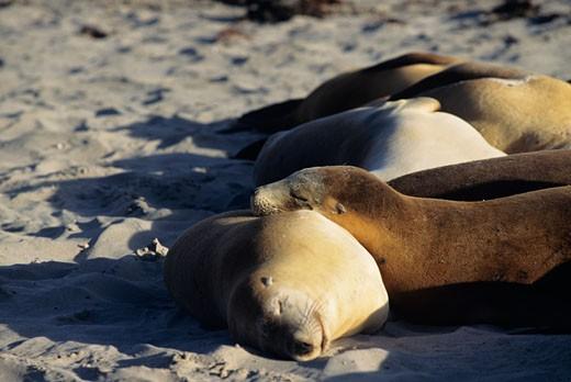 Australian sea lions (Phascolarctos cinereus), close-up, Australia : Stock Photo