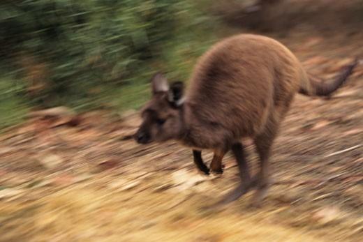Kangaroo Island kangaroo (Macropus fuliginosus filiginosus) hopping, Australia : Stock Photo