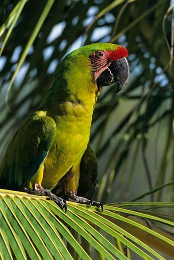 Buffon's great green macaw (Ara amibgua), vertical view, Honduras : Stock Photo