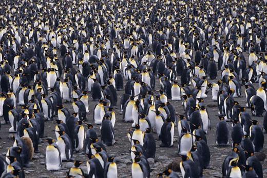 Stock Photo: 1491R-1020588 King penguins (Aptenodytes patagonicus), South Georgia Islands