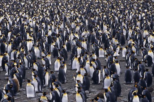 King penguins (Aptenodytes patagonicus), South Georgia Islands : Stock Photo