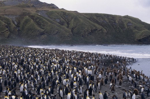 Stock Photo: 1491R-1020597 Colony of king penguins (Aptenodytes patagonicus) at Gold Harbor, South Georgia Island