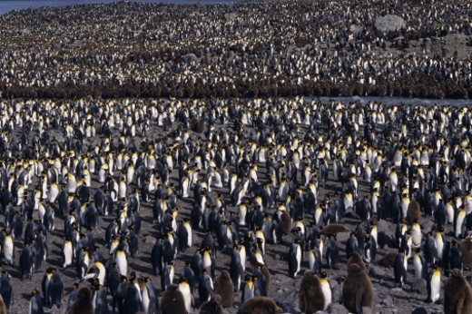 Colony of king penguins (Aptenodytes patagonicus) at St. Andrews Bay, South Georgia, Island : Stock Photo