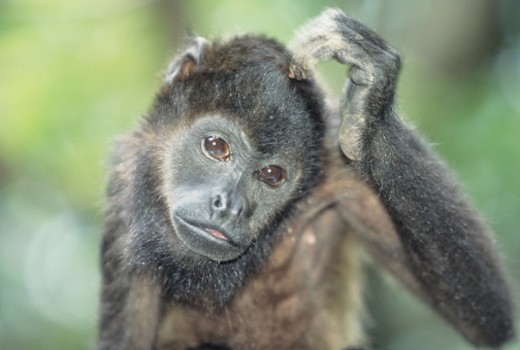 Stock Photo: 1491R-1020742 Mantled howler monkey (Alouatta palliata), Central or South America