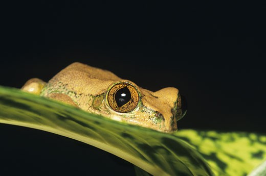 African big-eyed tree frog (Leptolis sp.) : Stock Photo