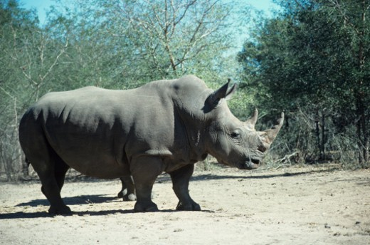 White rhino, Africa : Stock Photo