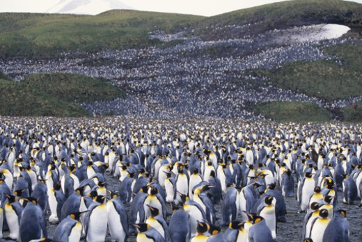 Stock Photo: 1491R-1020822 Colony of king penguins (Aptenodytes patagonicus)